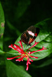 Cattleheart Butterfly. Red and black Cattleheart Butterfly Parides iphidamas Stock Photo