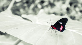 Cattleheart Butterfly. Red and black Cattleheart Butterfly Parides iphidamas Stock Photos