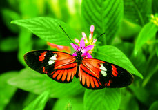 Cattleheart Butterfly. Red and black Cattleheart Butterfly Parides iphidamas Stock Images