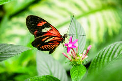 Cattleheart Butterfly. Red and black Cattleheart Butterfly Parides iphidamas Royalty Free Stock Image