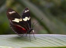 Cattleheart Motyl Obraz Royalty Free