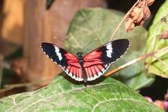 Cattleheart que sorprende Swallowtail, mariposa, delanteras amazónicas de la lluvia Imagen de archivo