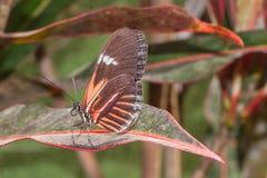 Cattleheart que sorprende Swallowtail, mariposa, selva tropical amazónica Imágenes de archivo libres de regalías