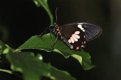 Cattleheart-Schmetterling Lizenzfreies Stockbild