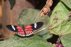 Red Cattleheart butterfly Stock Image