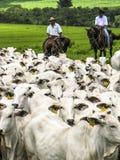 cattleman obraz royalty free