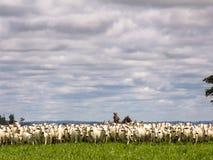 cattleman obrazy royalty free