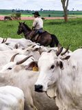 cattleman obrazy stock