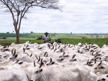 cattleman fotografia stock