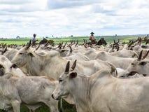 cattleman zdjęcia royalty free
