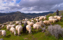Cattleman. Drove of the sheeps in the mountains stock images