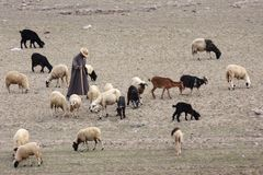 Cattleman. With beasts in south morocco stock image