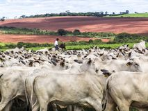 Cattleman. Magda, Sao Paulo, Brazil, March 08, 2006: The cowboy leads a group of Nelore cattle being herded through a wet field in a cattle farm in Magda, county stock photo