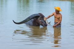 Cattleman without shirt bathing buffalo. Kalasin, Thailand - May 21, 2016: Cattleman without shirt bathing buffalo with extra long horns in rural swamp in royalty free stock photography