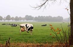 cattles黑白花牛 图库摄影