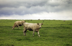 Cattles Photo libre de droits