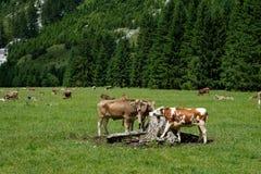 Cattles bij een zoute lik op een weiland in de zomer stock afbeelding