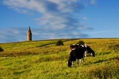 Cattles de Hartshead Photos stock