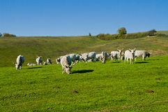 Cattles on the field Royalty Free Stock Photo
