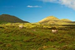 Cattles on Field Overlooking Mountains Under Blue Skt stock image