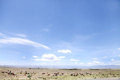 Cattles grazing in the grassland of Kenya Stock Images