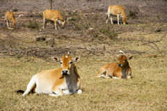 Cattles Stock Photography