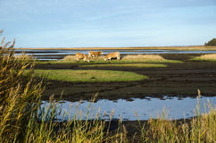 Cattles in a marshland Royalty Free Stock Photos