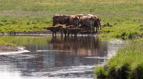 Cattles and river Royalty Free Stock Photography