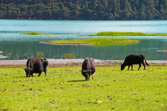 Cattles roaming free at Shudu Lake, Shangri-la Royalty Free Stock Photography