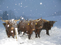 Cattles in winter. Cattles standing in a fold in winter Royalty Free Stock Photos