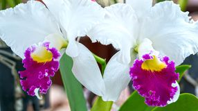 Cattleya花在春天开花装饰自然秀丽  免版税图库摄影