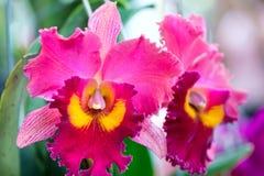 Cattleya花在春天开花装饰自然秀丽  库存图片