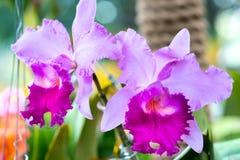 Cattleya花在春天开花装饰自然秀丽  免版税库存图片