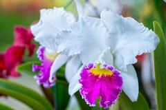 Cattleya花在春天开花装饰自然秀丽  免版税库存照片