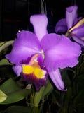 Cattleya è regina dei fiori Immagine Stock