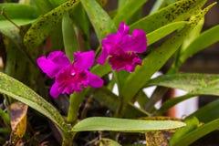Cattleya зацветая в саде задворк Стоковые Фотографии RF