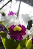 Cattleya Fotografía de archivo