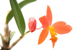 Cattleya Stock Images
