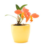 Cattleya. Small bright orange flowering cattleya orchid in yellow pot, isolated on white stock image