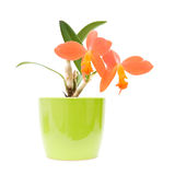 Cattleya. Small bright orange flowering cattleya orchid in bright green pot; isolated on white royalty free stock image
