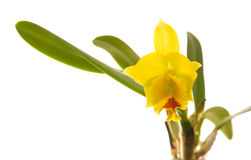Cattleya Royalty Free Stock Photography
