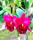 Cattleya Fotos de Stock