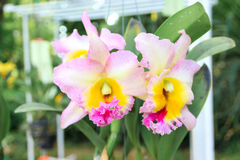 Cattleya Foto de Stock Royalty Free