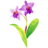 Cattleya - birth flower vector illustration in watercolor paint. Birth flower vector illustration in watercolor paint textures royalty free illustration