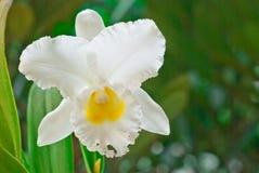 Cattleya blanco Imagen de archivo libre de regalías