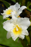 Cattleya (Cattleya hybrids.) Stock Photo