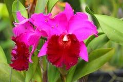 Cattleya de la violeta de la flor Fotos de archivo libres de regalías