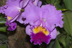 Cattleya Drumbeat Heritage Orchid stock photos