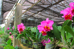 Cattleya in farm for sale and export Stock Images