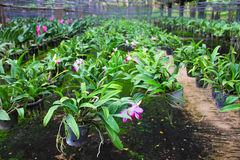 Cattleya in farm for sale and export. The biggest cattleya farm in north east of Thailand royalty free stock images